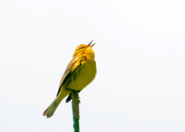 """<div class=""""jaDesc""""> <h4> Prairie Warbler Singing in Tree Top - June 4, 2013 </h4> <p>I could hear this little Prairie Warbler singing among some evergreen trees.  I waited patiently for 20 minutes hoping he would show himself.  Finally he landed in the very top of one of the trees.</p> </div>"""