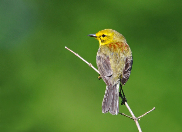 "<div class=""jaDesc""> <h4> Prairie Warbler - Back View - May 25, 2014</h4> <p>The gray, olive and maroon markings on a Prairie Warbler's back are very different than the yellow and black on his front. </p> </div>"
