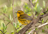 "<div class=""jaDesc""> <h4> Prairie Warbler Looking for Bugs - May 6, 2011 </h4> <p> I could hear this Prairie Warbler in a thicket as I was walking through a nature preserve. It took me over 5 minutes to locate him even though he was right in front of me. He was very cooperative, allowing me to get within about 15 feet of him as he snacked on caterpillars.</p> </div>"