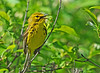 "<div class=""jaDesc""> <h4> Prairie Warbler Singing - May 25, 2014</h4> <p>It took me about 15 minutes to locate this little Prairie Warbler.  Fortunately he continued to sing until I was able to pick him out in dense vegetation.</p> </div>"