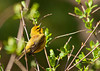 "<div class=""jaDesc""> <h4> Prairie Warbler Singing in Dense Brush - May 6, 2011 </h4> <p> I had to venture into dense brush to follow this Prairie Warbler. He was not shy, but liked to stay in the dense cover. He was intent on attracting a mate with his singing.</p> </div>"