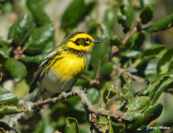 "<div class=""jaDesc""> <h4> Townsend's Warbler - Side View - November 3, 2009 </h4> <p> Here is a side view of a male Townsend's Warbler that I saw while in Monterey, California.  He was eating bugs off the undersides of leaves in the early morning.</p> </div>"