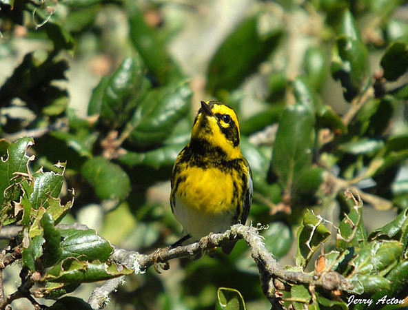 "<div class=""jaDesc""> <h4> Townsend's Warbler - Front View - November 3, 2009 </h4> <p> This male Townsend's Warbler was foraging on bugs early in the morning.  He was moving rapidly among branches laden with spanish moss.  These warblers are found only along the west coast of the U.S.  This shot was taken in Monterey, California.</p> </div>"