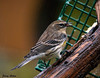 """<div class=""""jaDesc""""> <h4> Female Yellow-rumped Warbler - September 27, 2009</h4> <p>   I was not sure what this bird was when I first saw it.  I rarely see the female Yellow-rumped Warbler before.  Her markings are very pretty, but more subdued than the male.</p> </div>"""