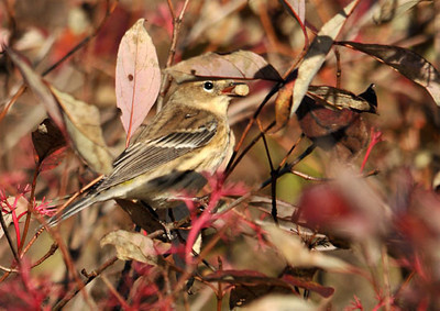 "<div class=""jaDesc""> <h4> Female Yellow-rumped Warbler with Berry - October 17, 2010</h4> <p> After grabbing her gray dogwood berry, this female Yellow-rumped Warbler looked like she was try to hide it behind the leaves.</p> </div>"