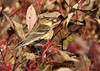 """<div class=""""jaDesc""""> <h4> Female Yellow-rumped Warbler with Berry - October 17, 2010</h4> <p> After grabbing her gray dogwood berry, this female Yellow-rumped Warbler looked like she was try to hide it behind the leaves.</p> </div>"""