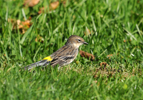 """<div class=""""jaDesc""""> <h4> Yellow-rumped Warbler Foraging for Bugs in Grass - October 11, 2011</h4> <p> At a lunch stop in rural Maine, we came upon a flock of mixed warblers foraging for bugs in an old apple tree and in the lawn. This Yellow-rumped Warbler is transitioning from its bluish-gray summer plumage to its brownish winter coloring.</p> </div>"""