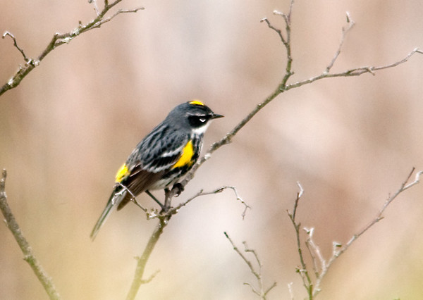 """<div class=""""jaDesc""""> <h4> Yellow-rumped Warbler in Morning Fog - May 1, 2012 </h4> <p> There was a thinning fog in the area where two pair of Yellow-rumped Warblers were perched on dead tree branches. They would fly off to catch a bug every minute or so and then return to the same perch.</p> </div>"""