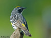 """<div class=""""jaDesc""""> <h4> The Yellow Rump - October 11, 2009</h4> <p> You can see from this shot why this male is named a Yellow-rumped Warbler.</p> </div>"""