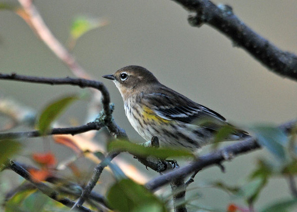 "<div class=""jaDesc""> <h4> Female Yellow-rumped Warbler on Perch - September 24, 2010</h4> <p>  I have not seen these guys since this time last year. For the past few mornings, this female has been collecting bugs off the dewy leaves on our crabapple trees. I am hoping to get a look at the male before they head on South.</p> </div>"