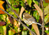 "<div class=""jaDesc""> <h4> Yellow-rumped Warbler in Winter Plumage - November 6, 2013 </h4> <p> This Yellow-rumped Warbler was the very first bird I saw as I began the driving loops around Bombay Hook NWR in Delaware.  The early morning sunlight highlighted his winter plumage nicely.</p> </div>"