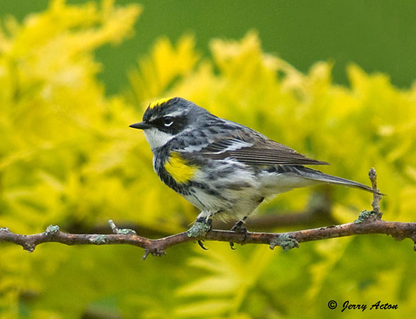 """<div class=""""jaDesc""""> <h4> Yellow-rumped Warbler in Honey Locust - May 26, 2009</h4> <p> I have been getting glimpses of a warbler over the past week and suspected it might be a male Yellow-rumped Warbler.  Yesterday, he was eating bugs in our honey locust and serviceberry trees for about 10 minutes.  This is a first for us in our yard and my first photo of a male Yellow-rumped.  He seems to like our place, so hopefully he will stick around.</p> </div>"""