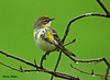 """<div class=""""jaDesc""""> <h4> Male Yellow-rumped Warbler Returns - September 27, 2009</h4> <p>  It has taken me 3 days to get a photo of this male Yellow-rumped Warbler.  He returned after several months and brought his mate with him.</p> </div>"""