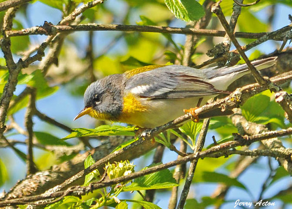 """<div class=""""jaDesc""""> <h4> Female Northern Parula Warbler - May 10, 2010 - Video Attached</h4> <p>The difference between the male and female Northern Parula Warbler is very subtle.  The male has an orange band across the yellow on his throat, while the female has only yellow on her throat.  In the attached video, the female is busy picking bugs off a swaying branch.</p> </div> </br> <center> <a href=""""http://www.youtube.com/watch?v=IvDNfxBuR5A"""" class=""""lightbox""""><img src=""""http://d577165.u292.s-gohost.net/images/stories/video_thumb.jpg"""" alt=""""""""/></a> </center>"""