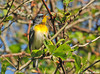 "<div class=""jaDesc""> <h4> Male Northern Parula Warbler - May 10, 2010</h4> <p>I was surprised and delighted to find a pair of Northern Parula Warblers while walking through one of my favorite birding areas this morning.  This male was moving through the branches feeding on bugs.  He was upside down much of the time, and in constant motion.  In this shot he stopped to sing for his mate.</p> </div>"