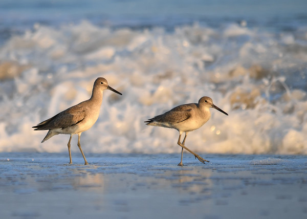 """<div class=""""jaDesc""""> <h4>Willet Pair Close-up - November 10, 2016 </h4> <p>I was on my belly in the sand for this one.  Chincoteague National Wildlife Refuge in northern VA. </p> </div>"""