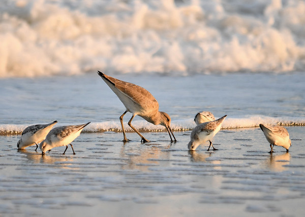 """<div class=""""jaDesc""""> <h4>Willet Probing Sand - November 10, 2016 </h4> <p>There must be something to eat that has been exposed in the sand by the rushing water.</p> </div>"""