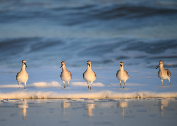 "<div class=""jaDesc""> <h4>Willet Chorus Line - November 10, 2016 </h4> <p>This Willet line-up had me laughing as they walked through the frothy surf; the middle one in the lead.  It looked for a bit like they were coming to chase me off the beach.  Chincoteague National Wildlife Refuge in northern VA. </p> </div>"