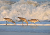 "<div class=""jaDesc""> <h4>3 Willets in Surf - November 10, 2016 </h4> <p>This trio of Willets were foraging in the surf, 8 foot waves crashing in the background.  Chincoteague National Wildlife Refuge in northern VA. </p> </div>"
