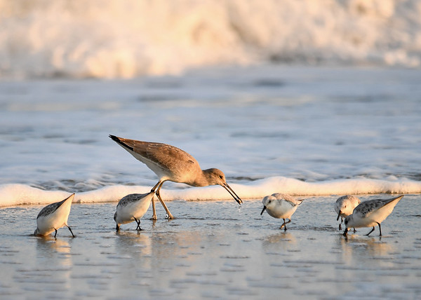 """<div class=""""jaDesc""""> <h4>Willet Grabs a Bite - November 10, 2016 </h4> <p>It looked like a small mollusk.</p> </div>"""