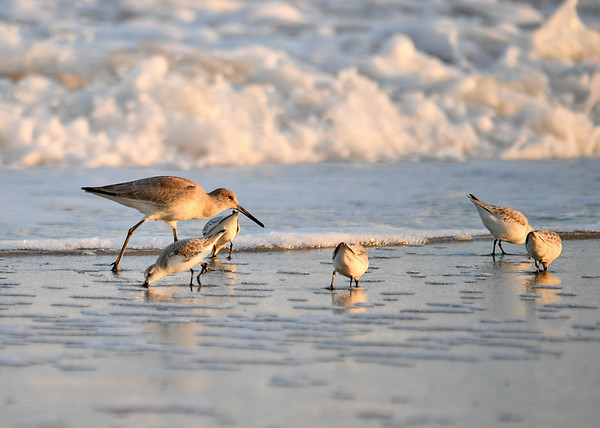 """<div class=""""jaDesc""""> <h4>Willet Searching for Food - November 10, 2016 </h4> <p>This Willet walked in among some Sanderlings looking for a bite to eat as the surf recedes.</p> </div>"""