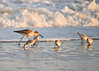 "<div class=""jaDesc""> <h4>Willet Searching for Food - November 10, 2016 </h4> <p>This Willet walked in among some Sanderlings looking for a bite to eat as the surf recedes.</p> </div>"