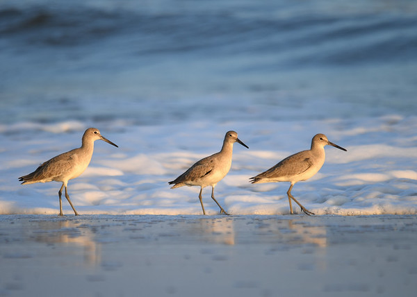 """<div class=""""jaDesc""""> <h4>3 Willets Posing - November 10, 2016 </h4> <p>This trio of Willets stopped foraging and posed nicely for me.  Chincoteague National Wildlife Refuge in northern VA. </p> </div>"""