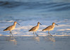"<div class=""jaDesc""> <h4>3 Willets Posing - November 10, 2016 </h4> <p>This trio of Willets stopped foraging and posed nicely for me.  Chincoteague National Wildlife Refuge in northern VA. </p> </div>"