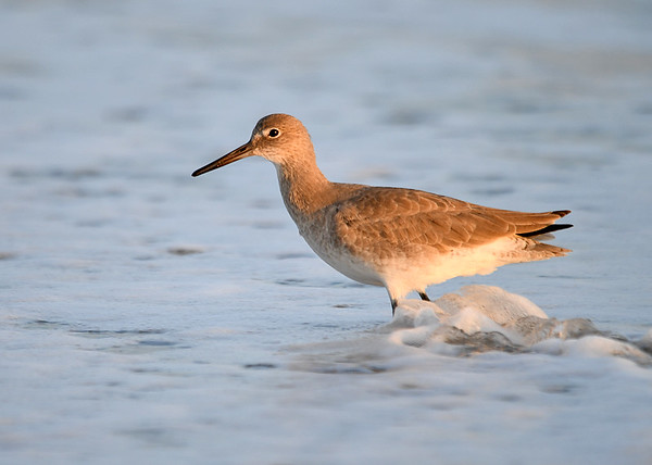 "<div class=""jaDesc""> <h4>Willet in Surf - November 10, 2016 </h4> <p>There were a dozen Willets walking through the surf bubbles and feeding along the beach at Chincoteague National Wildlife Refuge in northern VA.  The setting sun cast a lovely glow on their feathers.</p> </div>"