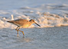 "<div class=""jaDesc""> <h4>Willet Continues the Search - November 10, 2016 </h4> <p>The Sanderlings moved on down the beach, leaving the Willet by herself.</p> </div>"