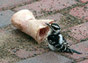 "<div class=""jaDesc""> <h4>Downy Likes Dog Bone - March 23, 2010 - Video Attached </h4> <p> Our dog Coby left one of his marrow bones on our brick walkway.  Just by chance I happened to notice this female Downy Woodpecker next to it pecking out the marrow.  She was there twice for about 5 minutes each time.  So I hung it up at the feeder area and she went to it again.  Must be real tasty stuff.</p> </div> </br> <center> <a href=""http://www.youtube.com/watch?v=9dfhG_R5Y4s "" class=""lightbox""><img src=""http://d577165.u292.s-gohost.net/images/stories/video_thumb.jpg"" alt=""""/></a> </center>"