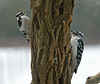 "<div class=""jaDesc""> <h4>Downy and Hairy Woodpecker - December 30, 2009 </h4> <p> When the Downy and Hairy Woodpeckers arrive at the locust log at the same time, they stay on opposite sides but keep an eye on each other. </p> </div>"