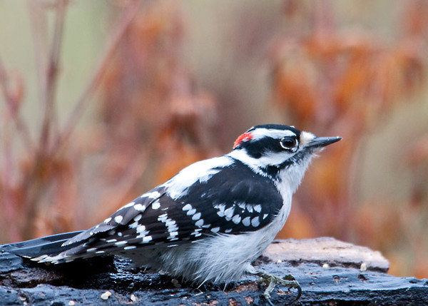"""<div class=""""jaDesc""""> <h4> Downy Woodpecker Looking for Peanuts - November 21, 2011 </h4> <p> This male Downy Woodpecker visits the log feeder every afternoon looking to see if the Blue Jays have left any shelled peanuts behind. If he finds one, he jams it in a crack and pecks away.</p> </div>"""
