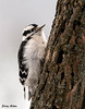"<div class=""jaDesc""> <h4>Downy Woodpecker on Tree Trunk - January 12, 2010 </h4> <p> This is one of two female Downy Woodpeckers who are regulars.  Often both females are on the locust suet log together.  In the attached video she was grooming herself during a snow storm.</p> </div> </br> <center> <a href=""http://www.youtube.com/watch?v=KKJjF9-1ZUg "" class=""lightbox""><img src=""http://d577165.u292.s-gohost.net/images/stories/video_thumb.jpg"" alt=""""/></a> </center>"
