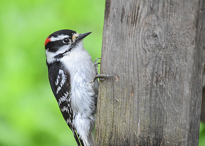 Male Downy Woodpecker Climbing Up Board - May 17, 2018 One of our two adorable male Downy Woodpeckers was climbing up the leg underneath the feeder table.  This way he avoids the busy bird traffic above the table.