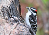 "<div class=""jaDesc""> <h4> Male Downy Woodpecker with Peanut - May 11, 2018</h4> <p>He jams the peanut in a crack on the log and then pecks away at it.</p> </div>"