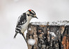 "<div class=""jaDesc""> <h4> Male Downy Woodpecker at Lunch Table - February 22, 2018</h4> <p>During another snow storm, our male Downy Woodpecker arrived at the suet log.  He was surveying the sunflower chips that I spread on the icy snow.</p> </div>"