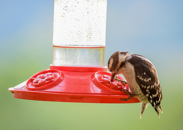 """<div class=""""jaDesc""""> <h4> Female Downy Woodpecker at Hummingbird Feeder - July , 2016</h4> <p>This female Downy Woodpecker discovered that her beak and tongue fit into the hummingbird feeder.</p> </div>"""
