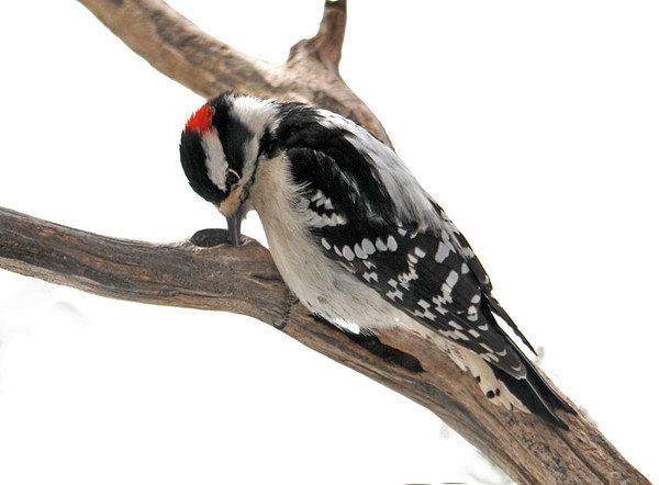 "<div class=""jaDesc""> <h4> Downy Woodpecker Eating Homemade Suet - January 13, 2011 </h4> <p> Every morning I press some of my homemade suet in the holes of the old elm branches I use for perches. One of our male Downy Woodpeckers was making sure every last speck was cleaned out of this hole.</p> </div>"