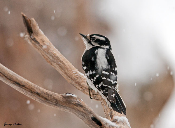 "<div class=""jaDesc""> <h4> Female Downy Woodpecker Staying Alert - February 25, 2010 </h4> <p> This female Downy Woodpecker is keeping an eye out for the Sharp-shinned Hawk.  The Blue Jays usually announce the hawk's presence with loud alarms calls.  The Downy Woodpeckers will quickly fly to a larger tree and stay very still on the backside from the hawk's location.</p> </div>"