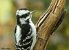 "<div class=""jaDesc""> <h4>Female Downy Woodpecker Looking Perky - October 10, 2009 </h4> <p> Downy Woodpeckers seem to always have a cheerful look about them.  Even when they tussle with each other at the feeders, it looks more playful than aggressive.</p> </div>"