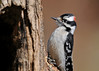 "<div class=""jaDesc""> <h4> Male Downy Woodpecker on Log - April 24, 2014 - Video Attached</h4> <p> Shortly after the female Downy started eating suet inside the hole, the male showed up to dine on the side of the log.  The video has both of them eating at the same time.</p>  </div> <center> <a href=""http://www.youtube.com/watch?v=hEKmOSsG2b4""  style=""color: #0000FF"" class=""lightbox""><strong> Play Video</strong></a>"