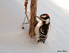 "<div class=""jaDesc""> <h4>Male Downy Woodpecker Takes Dip in Snow - January 9, 2010 </h4> <p> This male Downy Woodpecker landed on a sunflower stalk and worked his way down to a little hole at the bottom.  He did not seem to mind that his tail feathers were 2 inches into the snow as he pecked away at something in the hole.</p> </div>"