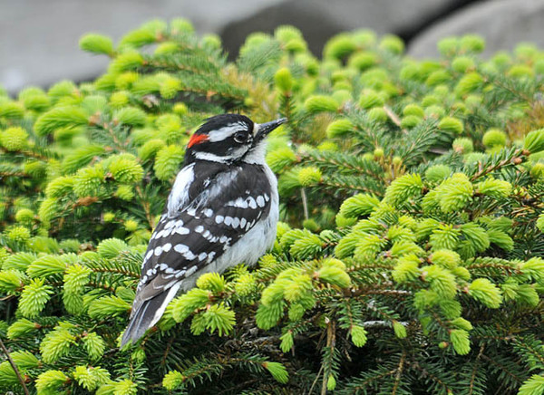"""<div class=""""jaDesc""""> <h4> Downy Woodpecker on Pine Bush - May 9, 2010 </h4> <p> This Downy Woodpecker has figured out that he can perch under the mealworm feeder on this pine bush and pick up the mealworms that the Bluebirds drop.</p> </div>"""