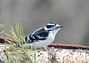 "<div class=""jaDesc""> <h4> Male Downy Woodpecker Eating Sunflower Chips - April 26, 2020</h4> <p>The Downy Woodpeckers eat the sunflower chips out of the finch mix and leave the thistle seed for the Goldfinches.</p> </div>"