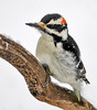 "<div class=""jaDesc""> <h4>Male Hairy Woodpecker in Snow - December 9, 2016</h4> <p>Mr. Hairy Woodpecker was waiting above the peanut feeder while Mrs. Hairy grabbed a peanut; she is the boss and always gets first pick.</p></div>"