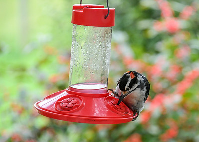 Male Hairy Woodpecker at Hummingbird Feeder #4 - September 10, 2018 He stayed on the feeder for several minutes.
