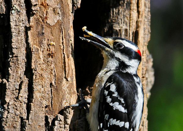 "<div class=""jaDesc""> <h4>Male Hairy Woodpecker- Beak Smackin Good - June 7, 2014 </h4> <p>Our Hairy Woodpeckers love peanut butter suet.  This guy has gobs of it stuck on his beak as he licks some down with his tongue - YUM ! </p> </div>"