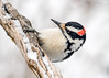 "<div class=""jaDesc""> <h4>Male Hairy Woodpecker Hanging On - March 3, 2017</h4> <p>Two male Hairy Woodpeckers were competing for sunflower seeds as a series of snow squalls were moving through.  This male was spinning around this branch to avoid the other one.</p></div>"