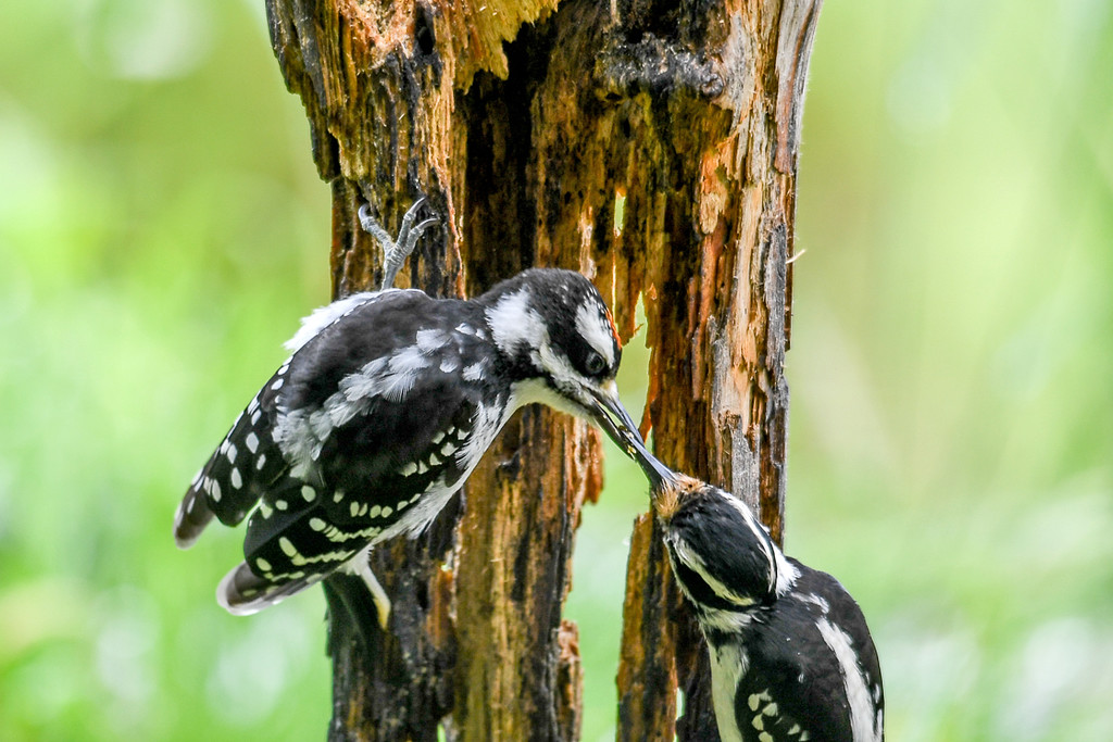 """<div class=""""jaDesc""""> <h4>Mother Hairy Woodpecker Feeding Juvenile Male - June 15, 2017</h4> <p>This is the first Hairy Woodpecker feeding session of the year.  Mom brought her son to the suet log for some training.</p></div>"""